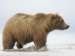 Shaggy Brown Bear in Stream by Arthur Morris