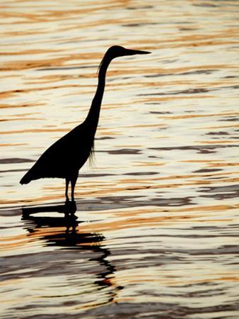 Silhouette of Great Blue Heron in Water at Sunset, Sanibel Fishing Pier, Sanibel, Florida, USA by Arthur Morris.