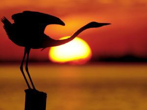 Silhouette of Great Blue Heron Stretching Neck at Sunset, Fort De Soto Park, St. Petersburg by Arthur Morris.