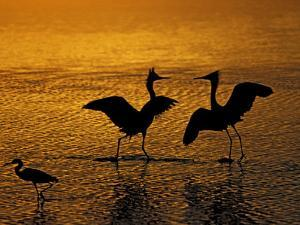 Silhouettes of Reddish Egrets Conduct Mating Dance in Gold-Colored Water by Arthur Morris