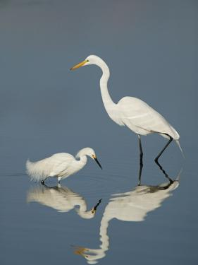 Snowy and Great Egrets by Arthur Morris