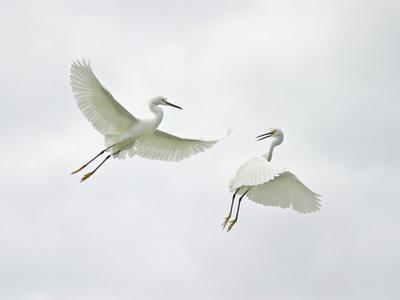Snowy Egrets Fighting, Sanibel, Florida, USA