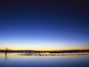 Sunset over Snow Geese on Water by Arthur Morris