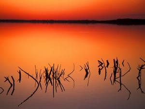 Sunset Silhouettes of Dead Tree Branches Through Water on Lake Apopka, Florida, USA by Arthur Morris