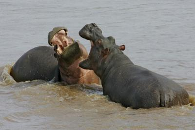 Two Hippopotami Fighting in Water by Arthur Morris