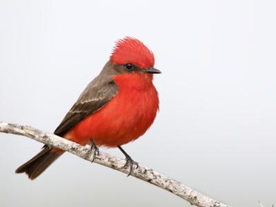 Vermilion Flycatcher Male (Pyrocephalus Rubinus), Laredo, Texas, USA