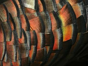 Wild Turkey Feather Close-up, Las Colmenas Ranch, Hidalgo County, Texas, USA by Arthur Morris