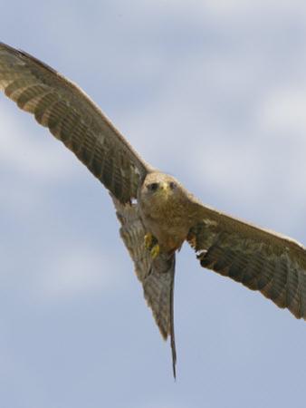 Yellow-Billed Kite in Flight, Milvus Aegyptius, Ngorongoro Crater, Tanzania, Africa