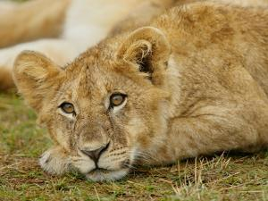 Young Lion in Grass by Arthur Morris