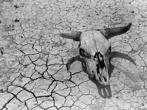 Cattle Skull on the Parched Earth by Arthur Rothstein