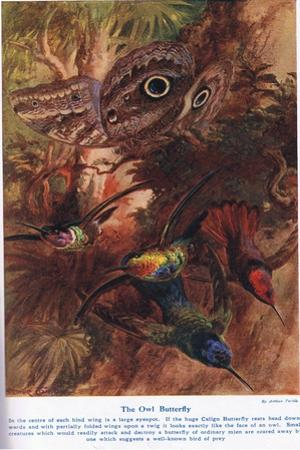 The Owl Butterfly, Illustration from 'Wonders of Land and Sea', Published by Cassell, London, 1914