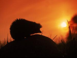 Hedgehog (Erinaceus Europaeus) Silhouette at Sunset, Poland, Europe by Artur Tabor