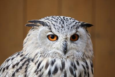 Eagle Owl with Big and Beautiful Oranges Eyes by Artush