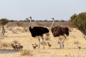 Family of Ostrich with Chicken, Struthio Camelus, in Etosha Park, Oshana Namibia, South Africa, Tru by Artush