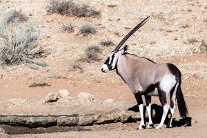Gemsbok, Oryx Gazella by Artush