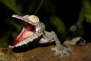 Giant Leaf-Tailed Gecko, Uroplatus Fimbriatus, Nosy Mangabe Reserve, Madagascar. Angry Gecko with O by Artush