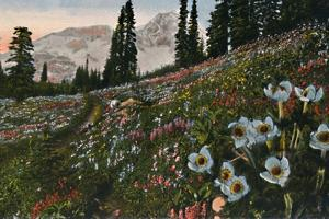 'The Anemone in Mount Rainier National Park', c1916 by Asahel Curtis