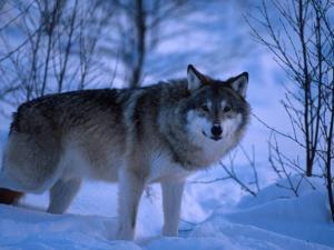 European Grey Wolf Male in Snow, C Norway by Asgeir Helgestad