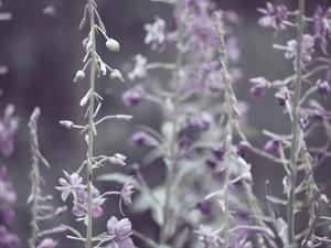 Lavender Bushes by Ashley Davis