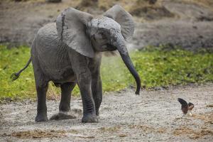 Baby elephant chasing bird (L. africana), Tarangire National Park, Tanzania, East Africa, Africa by Ashley Morgan
