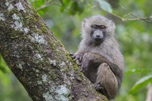 Juvenile olive baboon sitting in tree, Arusha National Park, Tanzania, East Africa, Africa by Ashley Morgan