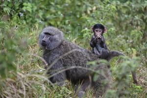 Olive baboon with baby on back (Papio anubis), Arusha National Park, Tanzania, East Africa, Africa by Ashley Morgan