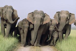 Asian Elephant Group on Jungle Track