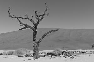 Another Lone Tree in the Namib Desert by asiercu