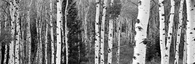 Aspen and Conifers Trees in a Forest, Granite Canyon, Grand Teton National Park, Wyoming, USA
