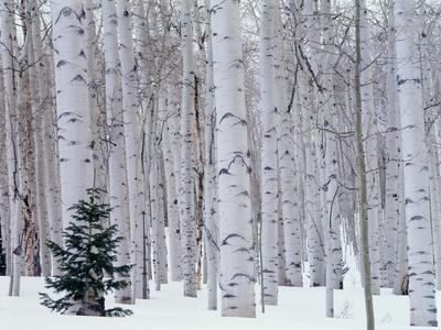 https://imgc.allpostersimages.com/img/posters/aspen-and-douglas-fir-manti-lasal-national-forest-la-sal-mountains-utah-usa_u-L-Q102J0W0.jpg?artPerspective=n