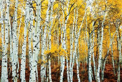 Aspen Grove - Yellow