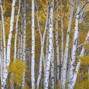 Aspen Trees in a Forest, Boulder Mountain, Utah, Usa