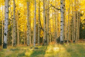 Aspen trees in a forest, Coconino National Forest, Arizona, USA