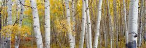 Aspen Trees in a Forest, Colorado, USA