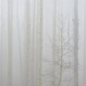 Aspen Trees in a Forest During Fog, Boulder Mountain, Utah, Usa