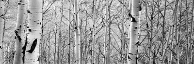 https://imgc.allpostersimages.com/img/posters/aspen-trees-in-a-forest_u-L-Q12QDRM0.jpg?p=0