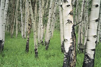 https://imgc.allpostersimages.com/img/posters/aspen-trees-in-colorado-usa_u-L-PN6WQ80.jpg?p=0