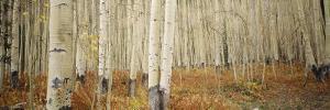 Aspen Trees in the Forest, Aspen, Colorado, USA