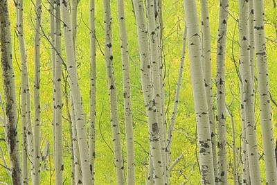 https://imgc.allpostersimages.com/img/posters/aspen-trees-white-river-national-forest-colorado-usa_u-L-PN6R7D0.jpg?p=0