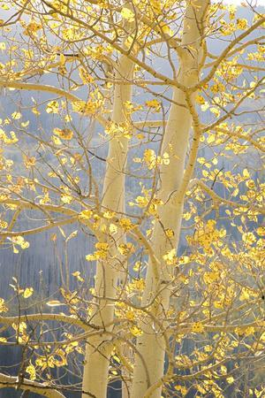 https://imgc.allpostersimages.com/img/posters/aspen-trees-white-river-national-forest-colorado-usa_u-L-PN6T1L0.jpg?artPerspective=n