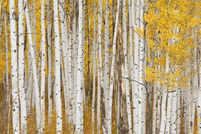 https://imgc.allpostersimages.com/img/posters/aspen-trees-white-river-national-forest-colorado-usa_u-L-PXR84R0.jpg?p=0