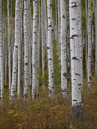 https://imgc.allpostersimages.com/img/posters/aspen-trunks-in-the-fall-white-river-national-forest-colorado-usa_u-L-PFN9IU0.jpg?artPerspective=n