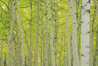 https://imgc.allpostersimages.com/img/posters/aspens-in-gunnison-national-forest-colorado-usa_u-L-PN6UW50.jpg?p=0
