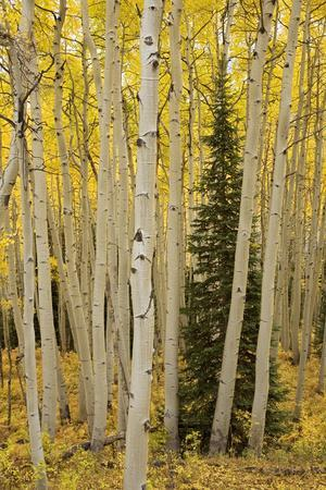 https://imgc.allpostersimages.com/img/posters/aspens-in-gunnison-national-forest-colorado-usa_u-L-PN6UWK0.jpg?p=0