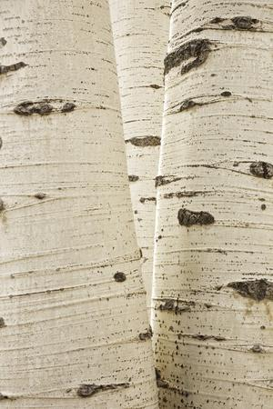https://imgc.allpostersimages.com/img/posters/aspens-in-gunnison-national-forest-colorado-usa_u-L-PN6UWZ0.jpg?p=0