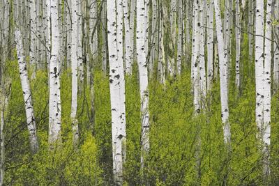https://imgc.allpostersimages.com/img/posters/aspens-in-gunnison-national-forest-colorado-usa_u-L-PN6WOC0.jpg?p=0