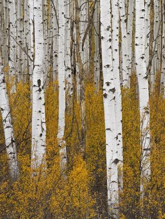 https://imgc.allpostersimages.com/img/posters/aspens-in-gunnison-national-forest-colorado-usa_u-L-PN6WOX0.jpg?p=0