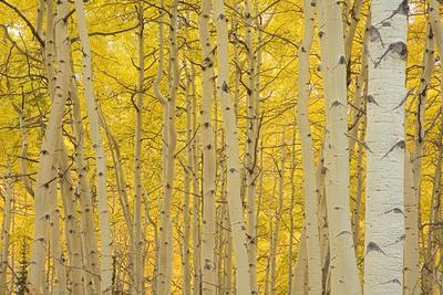 https://imgc.allpostersimages.com/img/posters/aspens-in-gunnison-national-forest-colorado-usa_u-L-PXR8280.jpg?p=0