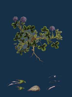 Asperula Cynanchica; Squinancy-Wort