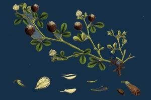 Asperula Odorata; Sweet Woodruff